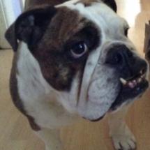 Scruffy Louise Bulldog
