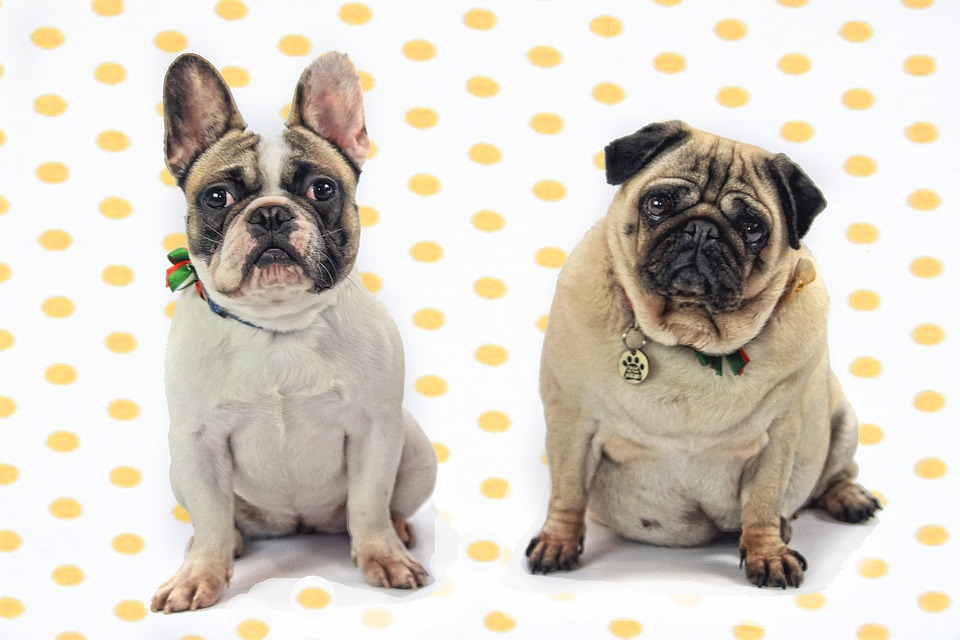 Bulldogs vs Pugs – What Are the Differences If You Are Looking to Adopt One