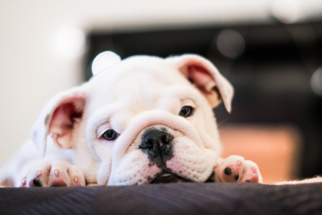 Misconceptions about bulldogs and safety