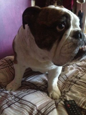 Last article from old collectibulldogs.com